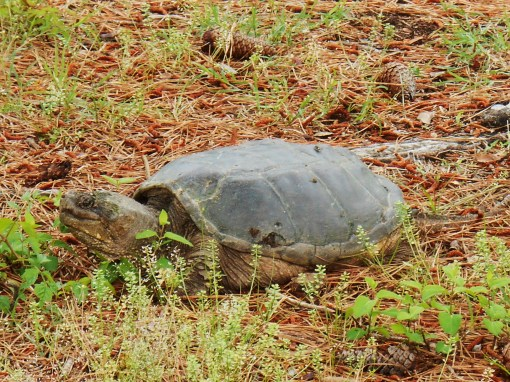 Found along the way, near Jamestown, this wise old turtle held its ground as I took photos.