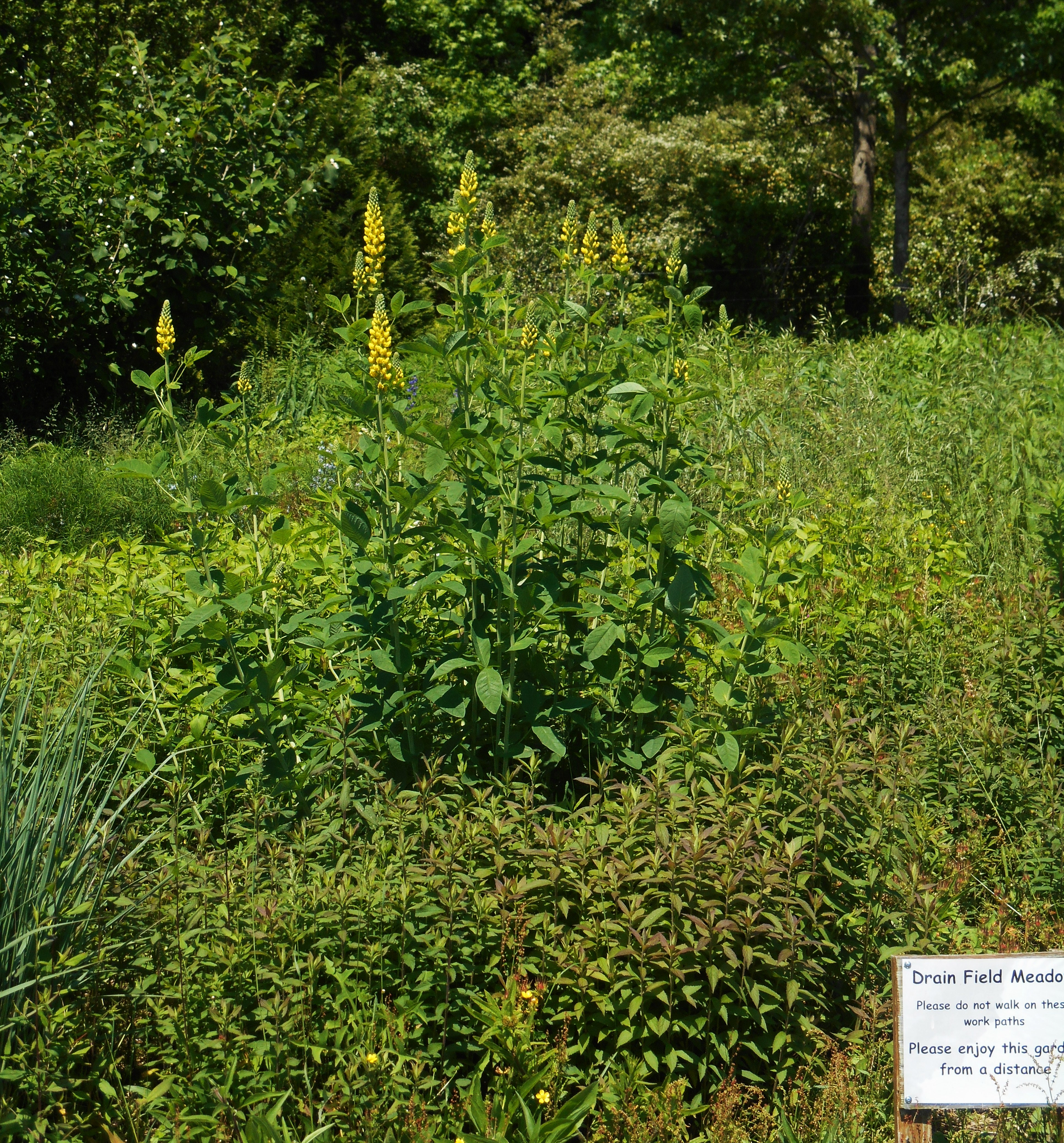This is the meadow garden where Brent showed us Mountain Mint and other native perennials we might grow in our own gardens.