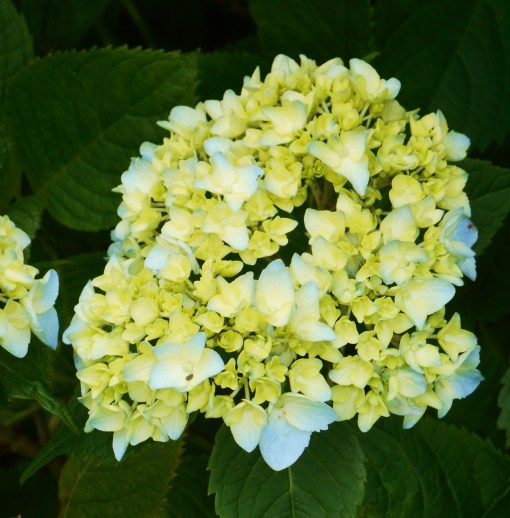 Hydrangea macrophylla have opened their first flowers this week.