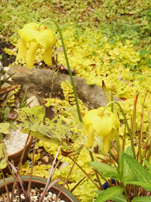 Creeping Jenny now surrounds our water feature. This photo from the end of April shows its growth in the stony pond.
