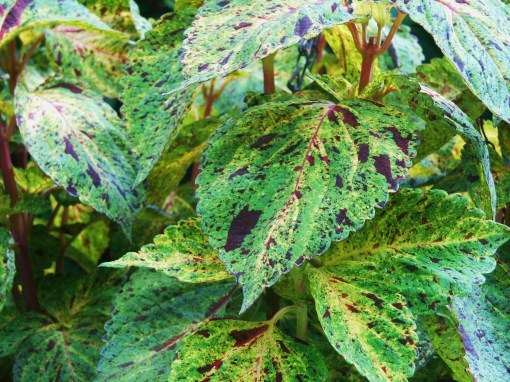 Coleus, with new branches beginning to emerge several days after pinching.