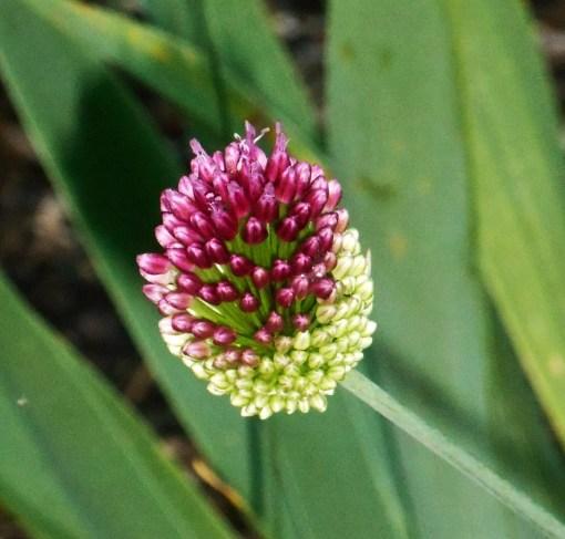 Allium in our Forest Garden