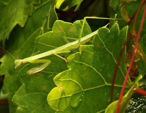 June 17, 2016 Praying Mantis 005