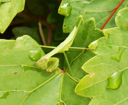 June 17, 2016 Praying Mantis 010