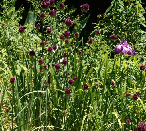 Alliums with Iris, Gloucester, VA