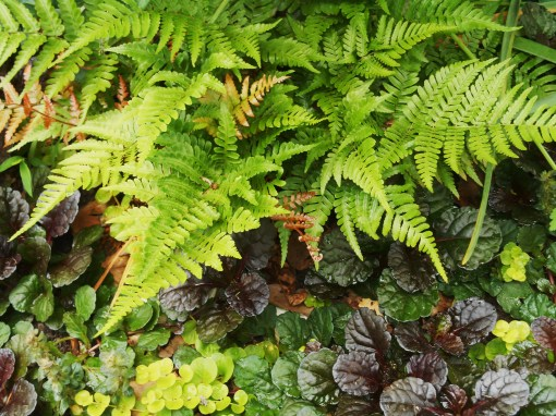 Autumn fern harmonizes with Creeping Jenny and Ajuga. We planted this combo last fall while re-doing a bed beneath our Camellia.