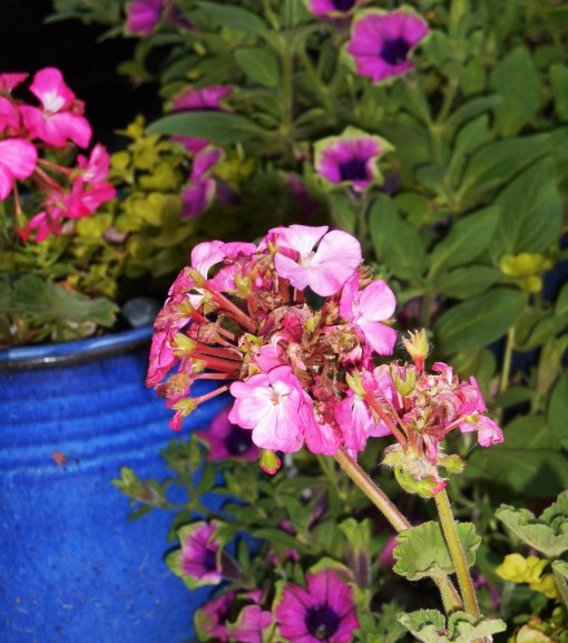 Snap the stem of spent Pelargonium flowers where it meets the main stem to 'deadhead' as the flowers fade.