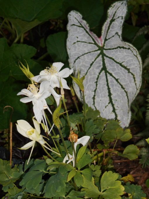 Columbine flowers will reliably produce seed when left on the plant.