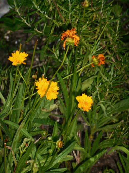 Coreopsis should be deadheaded until late in the season, when flowers may be left to go to seed for the birds.