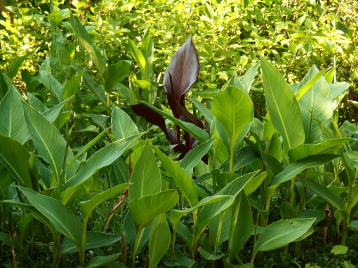 Cannas spread by underground rhizomes and grow thicker each year.