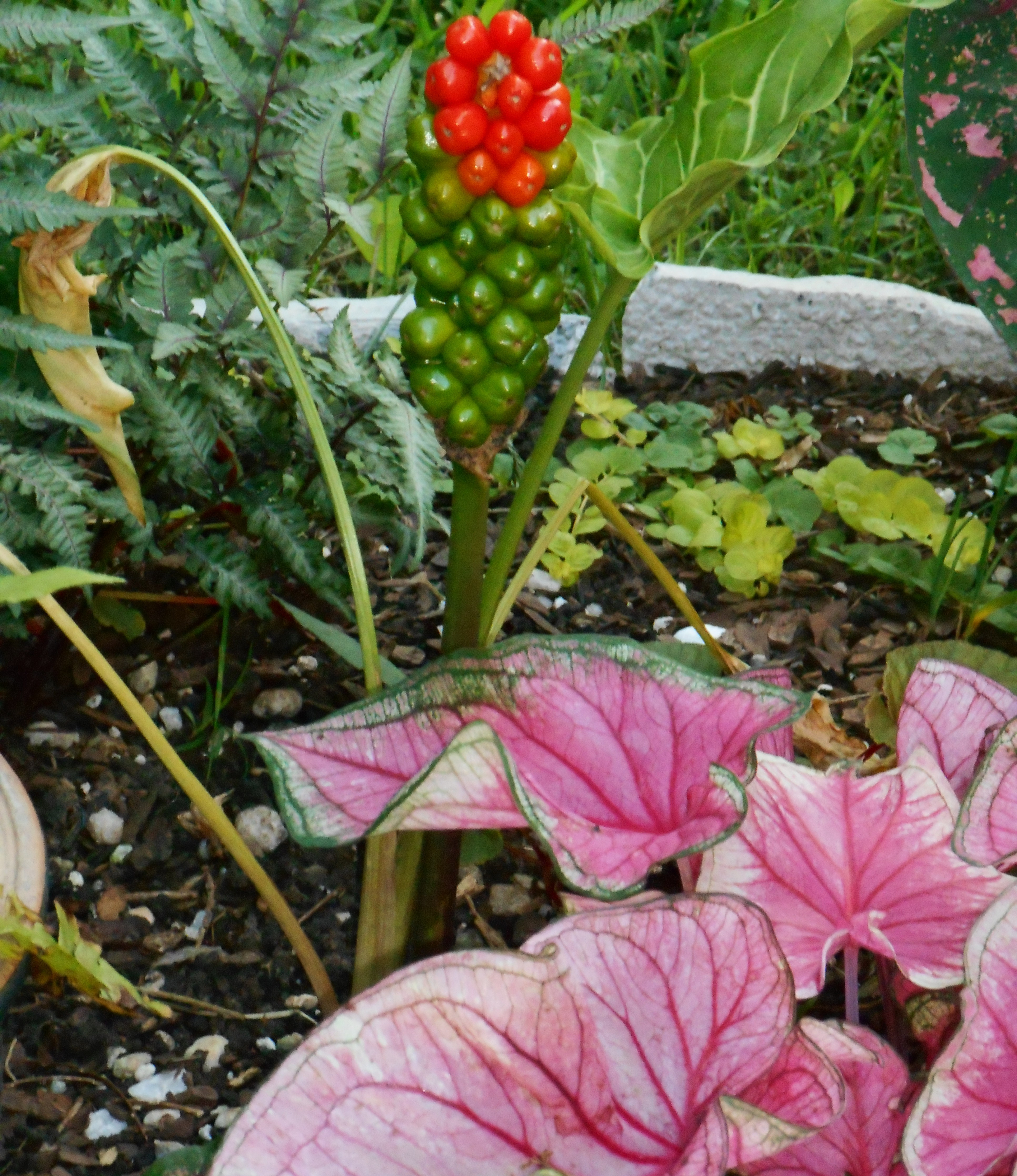 As Arum itallicum nears the end of its season, its berries redden and its leaves wilt away. It will sprout new leaves in the autumn, growing strong and green all winter and spring. Calladiums will fill its place for the summer.