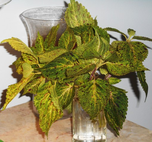 Coleus rooting in a jar makes a nice arrangement, and keeps a supply of rooted cuttings ready to plant where needed.