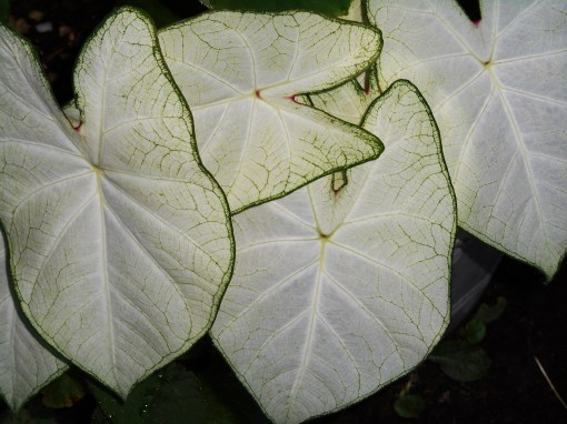 Caladium 'Moonlight' is an older white variety which prefers full shade.