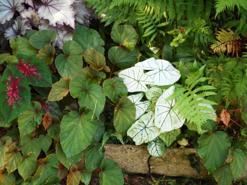 This experimental raised bed is bordered with hypertufa planters and planted with a combination of hardy Begonia and ferns, with a few Caladiums planted each spring.