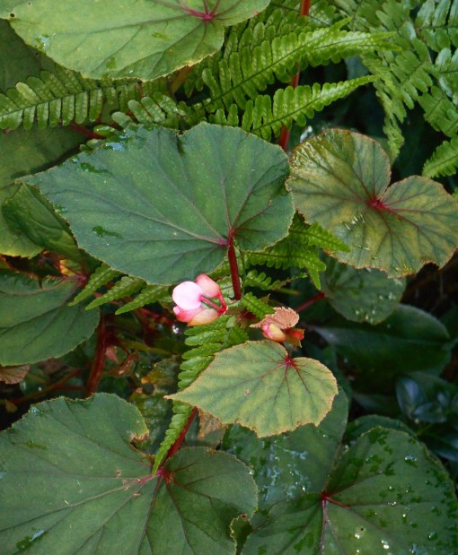 Hardy Begonia grandis has naturalized in our garden. It spreads, but is never invasive.
