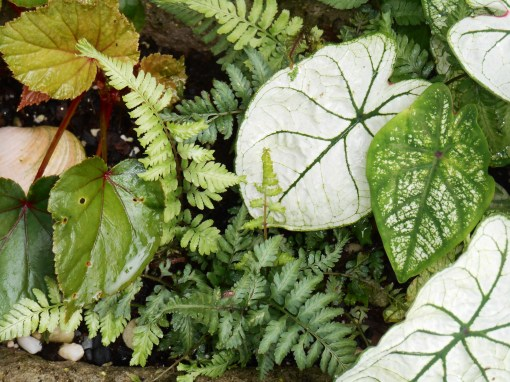White and light colored leaves often want more shade than dark green ones. Here, Caladium, fern and perennail Begonia grow in shade cast by a Dogwood tree.