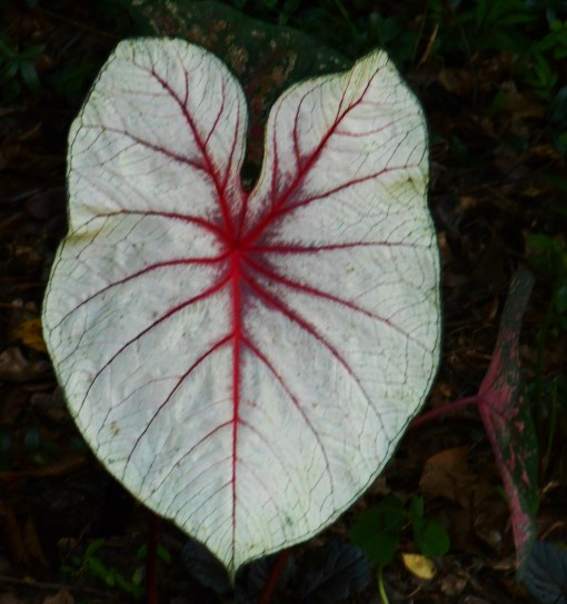 C. 'Florida Fantasy' remains one of my all-time favorite Caladiums. They are surprisingly sun tolerant to have such a delicate, white leaf. This one grows in full shade.