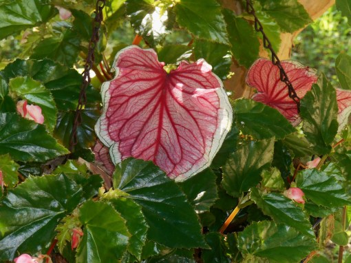 'Florida Sweetheart' Caladium growing in a basket with Begonia 'Richmondensis' offers the perfect summer Valentine.