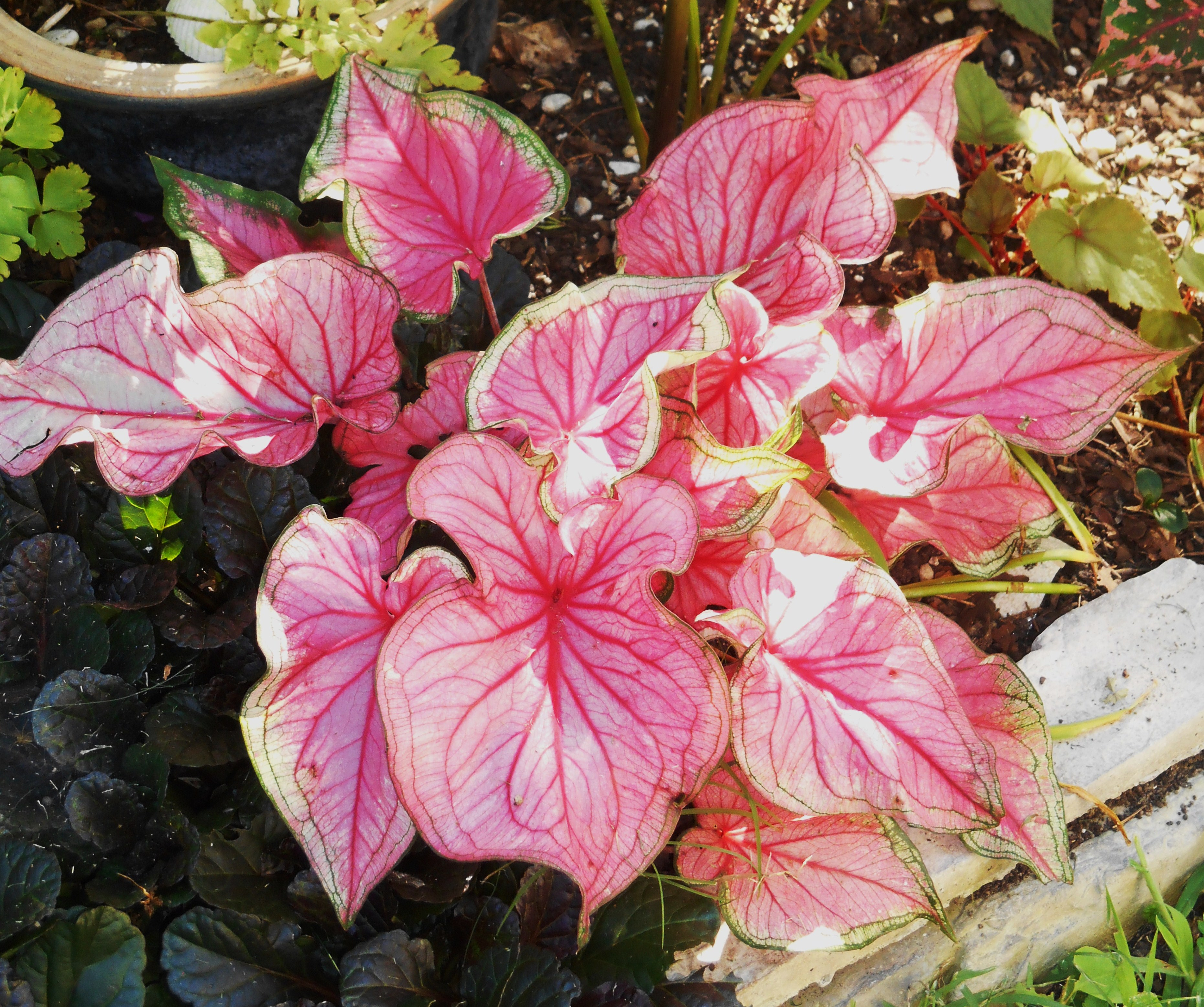 These 'Florida' series Caladiums, developed at the University of Florida, can take more sun than many other varieties will tolerate.