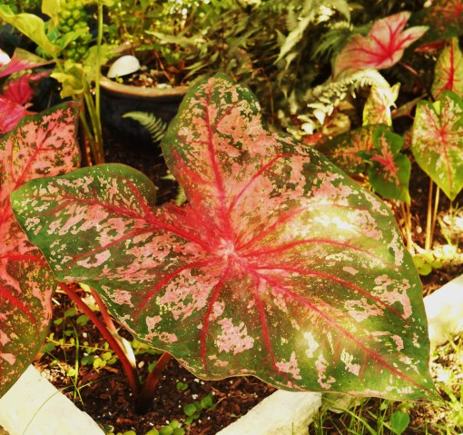 C. 'Gypsy Rose' was among the first Caladiums we planted out in early May.