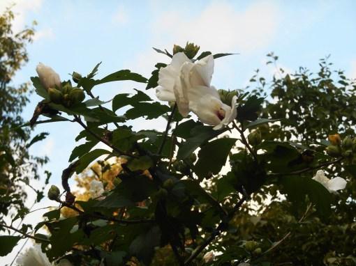 Hibiscuss syriacus in our garden, July 2016