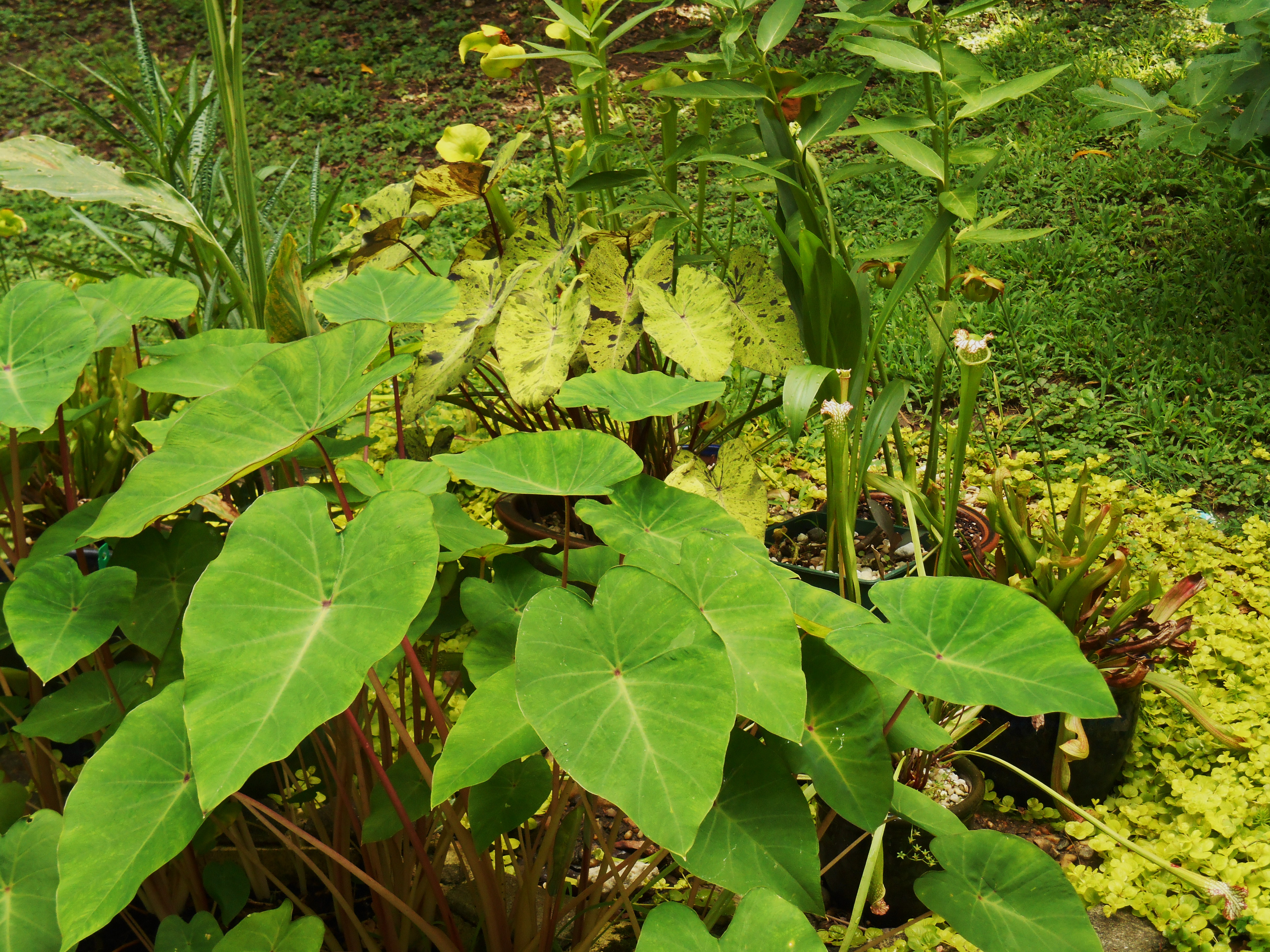 Colocasia generally have the largest of the 'elephant ear' leaves. This is C. 'Pink China,' and has proven hardy in our Zone 7 garden. This prolific plant spreads each season and may be easily transplanted.