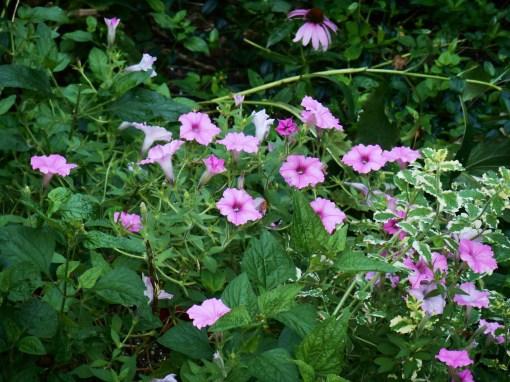 August 13, 2016 morning garden 007