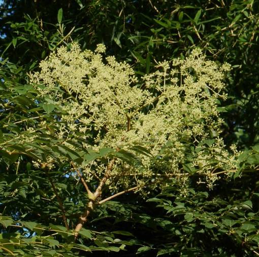 Aralia spinosa in bloom