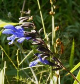 Salvia, 'Black and Blue'