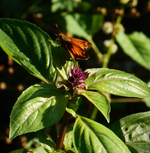 Basil attracts many pollinators