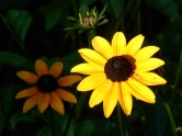 Black Eyed Susans or Rudbeckia hirta