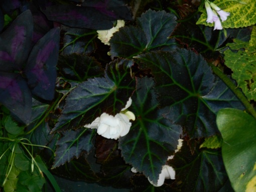 Also a Begonia, this grows from a tuber and produces flowers like tiny roses.