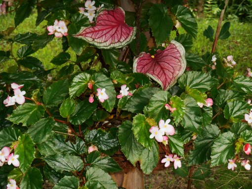 Begonia 'Richmondensis' with Caladium