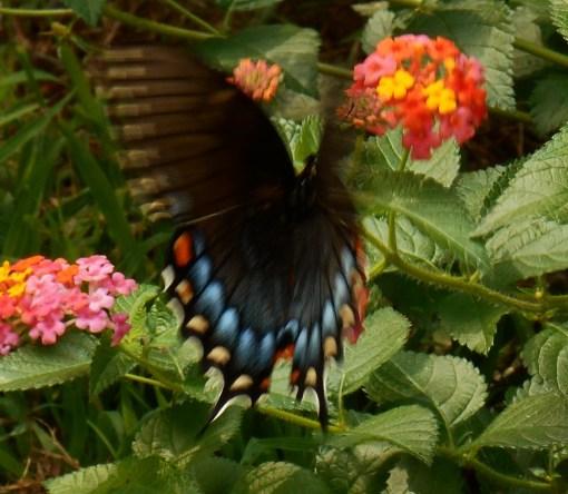 August 20, 2016 Butterflies 005