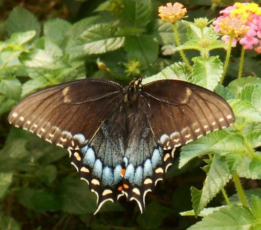 August 20, 2016 Butterflies 006