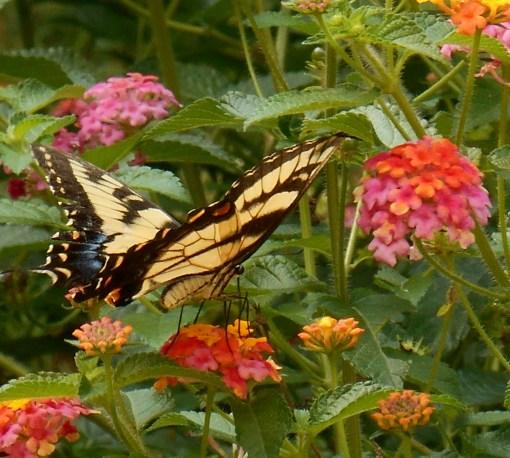 August 20, 2016 Butterflies 010
