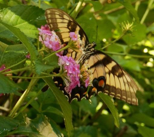 August 20, 2016 Butterflies 014