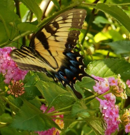 August 20, 2016 Butterflies 016