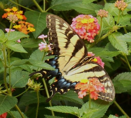 August 20, 2016 Butterflies 018