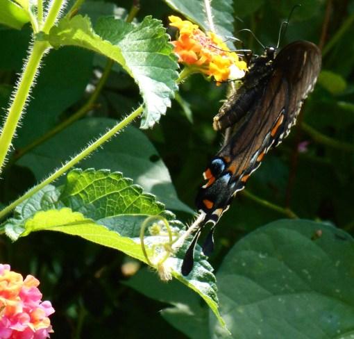 August 20, 2016 Butterflies 020