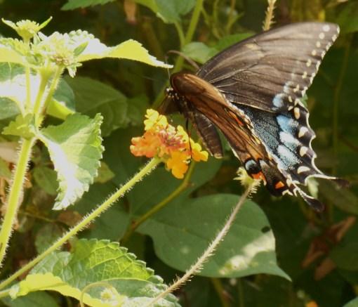 August 20, 2016 Butterflies 021