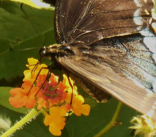 August 20, 2016 Butterflies 022