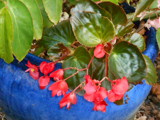 This is one tough Begonia, taking a lot of sun and keeping its color well.