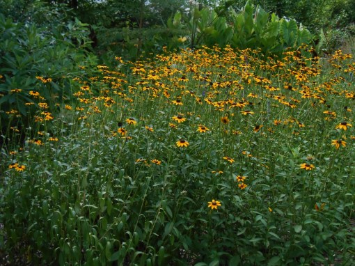Black Eyed Susans may droop in the heat, but they are survivors. Native plants like these are able to manage without a lot of special care. This patch self-seeds and spreads each season.