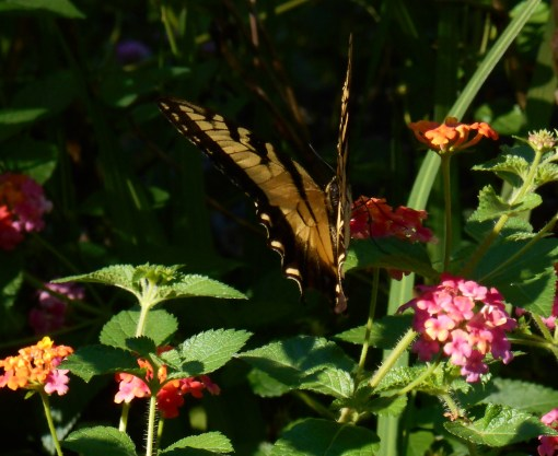 Lantana has proven a winner in our garden. I never shows stress from heat or drought because its roots grow deep. It feeds birds, hummingbirds and butterflies. It pumps out flowers non-stop from April until it is hit by frost. It is one of the most dependable and attractive plants we grow.