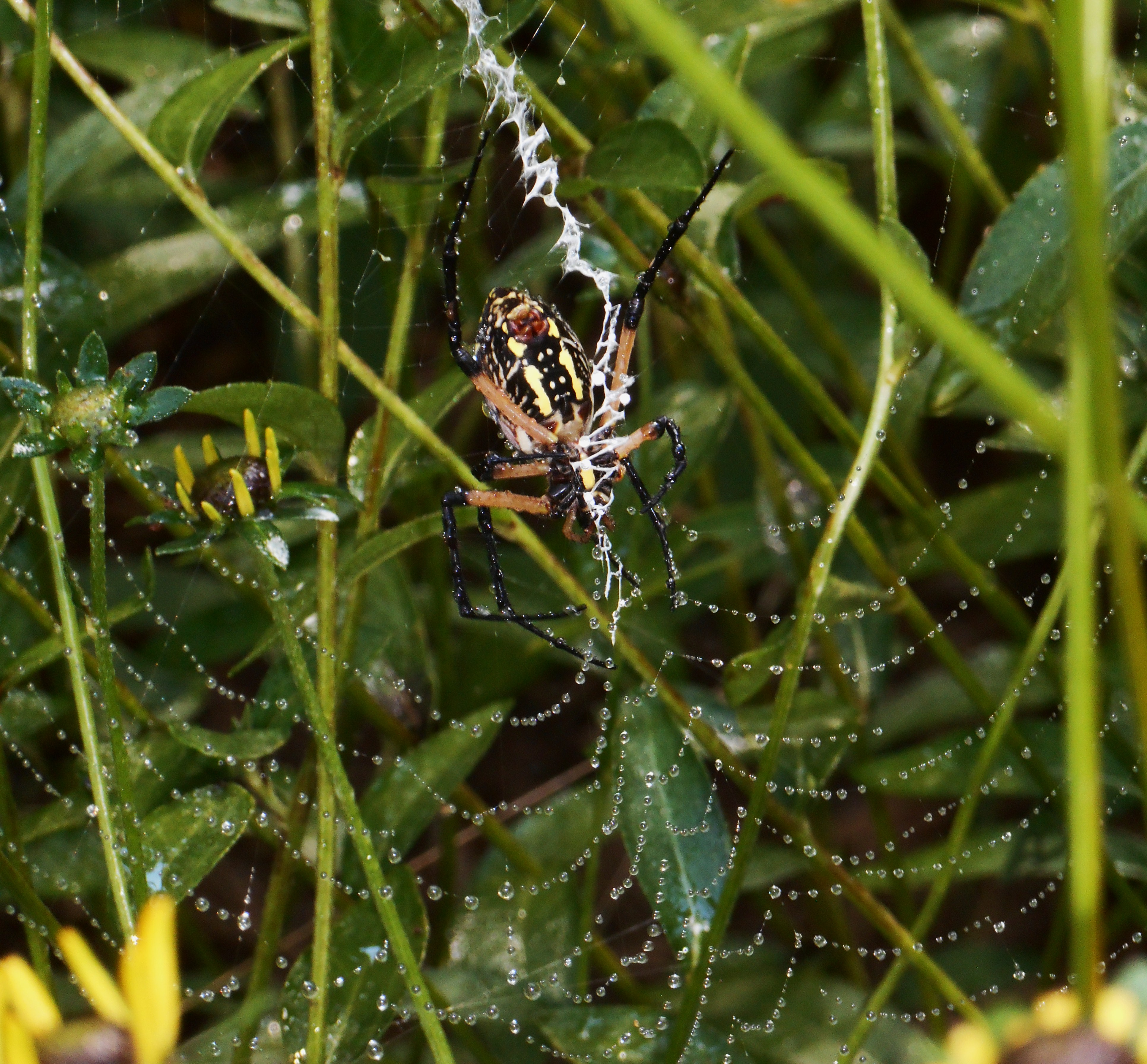 August 28, 2016 spider 010