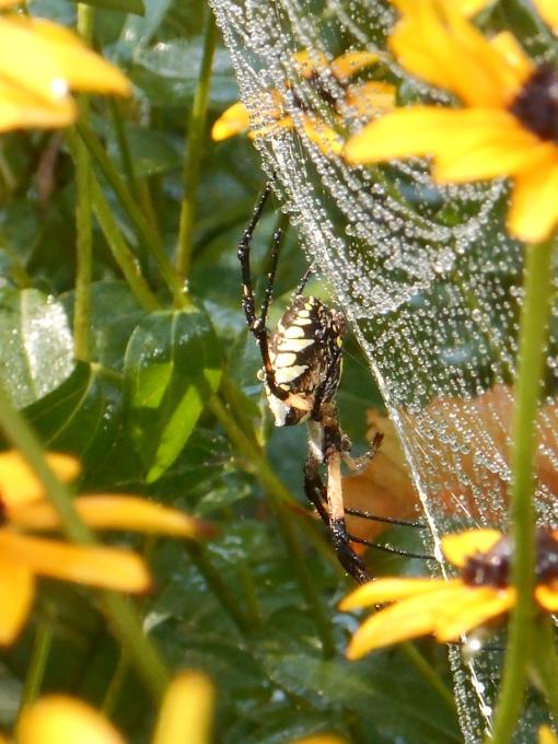 August 28, 2016 spider 011