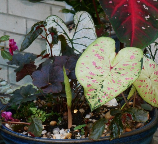 I added a few tubers to this worked over pot, where a Heuchera and ivy already grew. I added some fern and Begonia cuttings when I planted the Caladium tubers. Other Caladiums grow in a pot nearby.