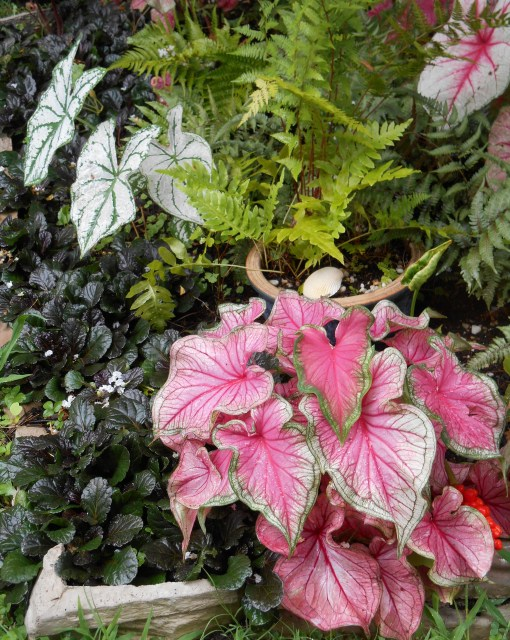 Ajuga reptans 'Black Scallop' proves a hardy and beautiful ground cover in pots and planting beds. Evergreen, it blooms each spring. Caladiums love our summer weather!