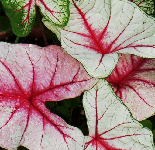 Caladium 'White Queen'